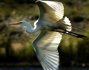 Egret; Riverbend Park.