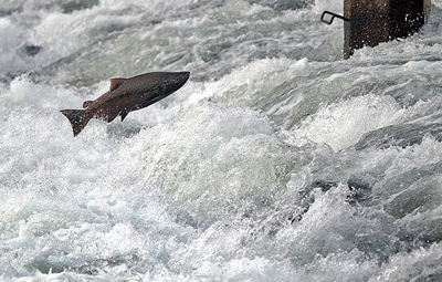 Homeward Bound - Just upstream from Sailor Bar, a King salmon jumps at the weir at Nimbus Hatchery. Photo By Ed Homich