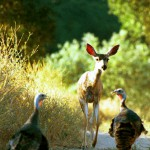 Fawn and Turkeys