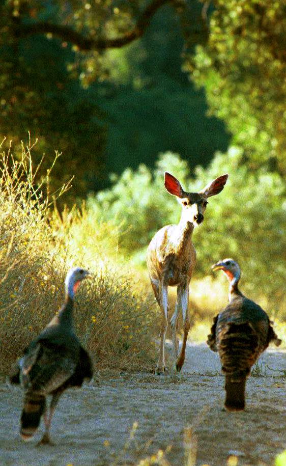 Fawn and Turkeys