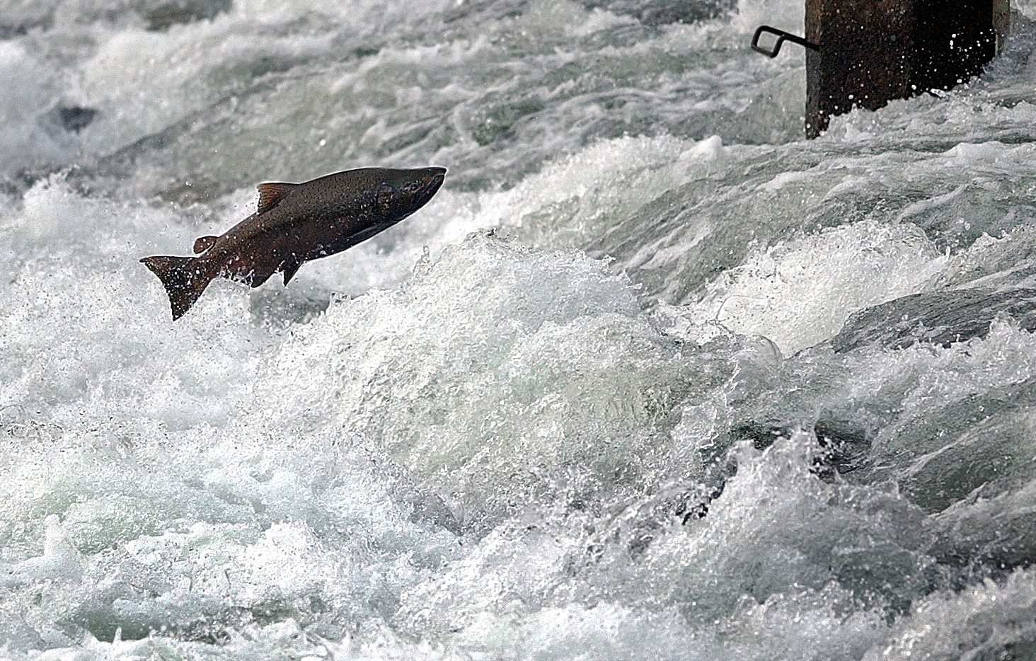 A King Salmon leaps at the gates near the Nimbus Salmon Hatchery.